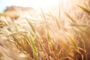 wheat-865098_640